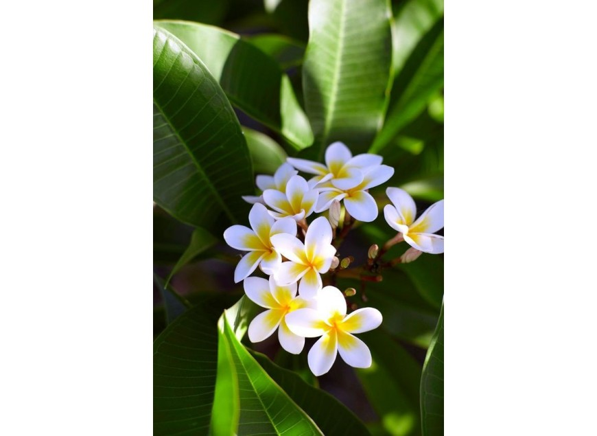 The Frangipani Flower, another Polynesian symbol !